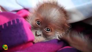 Orangutan – Tiny Reike is the Cutest Orphan