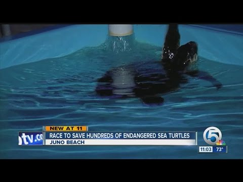 Race to save hundreds of endangered sea turtles