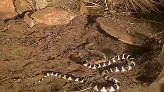 king snake vs rattlesnake