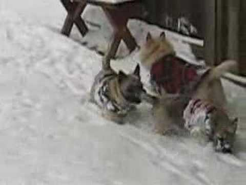 Rescue Cairn Terrier Puppies Playing in the Snow