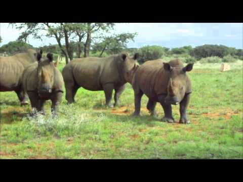 White Rhino Encounter in South Africa, No Vehicle Protection