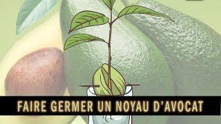 Culture : comment réussir la germination d'un noyau d'avocat afin d'obtenir un plant d'avocatier