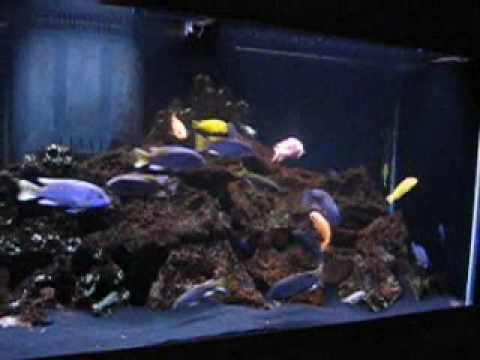 African Fishing Fish Tank African Cichlids
