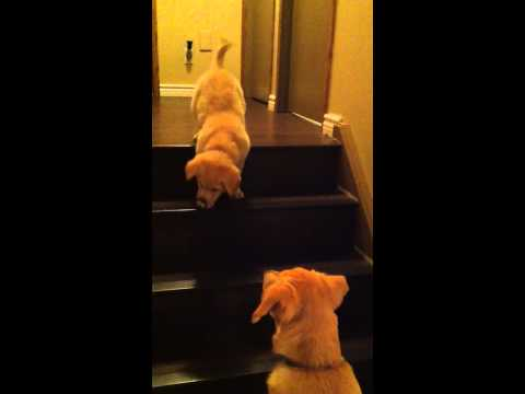 Adorable dog teaches a puppy to walk down the stairs