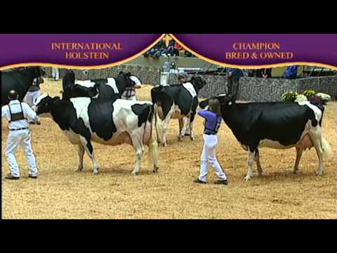 Holstein Champion Bred and Owned