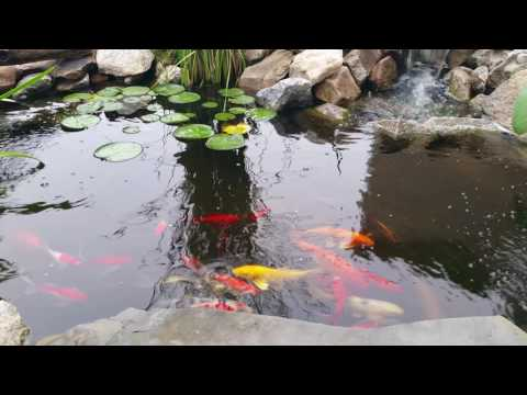 Small backyard koi pond 1000 1200 gal ez build diy how for 1000 gallon fish pond