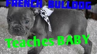 French Bulldog teaches baby ? Best Animal Videos 2014