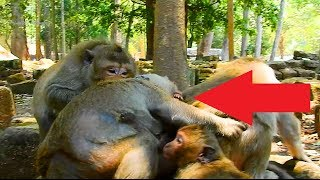 Wow! Why Acharp Fighting Poor Handicap Lady Monkey Like This! What's Going On!