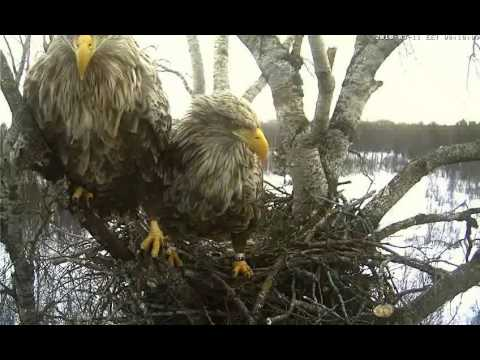 White-tailed Eagle, Estonia 11th March, 2010 - Mating II