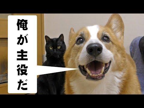 Goro smile Kuro sleep / お昼寝クロさん スマイル・ゴローさん 20171021 dog cat コーギー 犬 猫