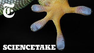 Harnessing the Power of Gecko Feet | ScienceTake