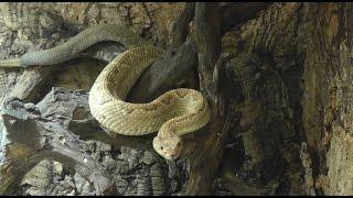Aruba Klapperschlange (Crotalus durissus unicolor) - Aruba rattlesnake - Haus des Meeres