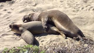 Elephant Seals having sex on a California Beach while baby seal watches