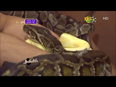 El Ingeniero paga su apuesta con serpientes