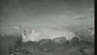 Funny Animal Video-Gassy Rhino