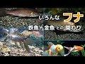 いろんなフナ 金魚 鉄魚との関わり