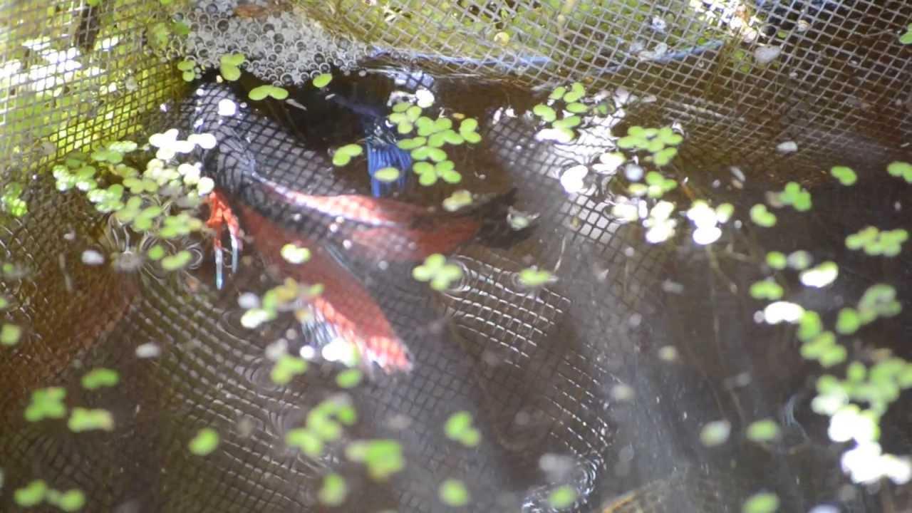 Siamese fighting fish in the wild
