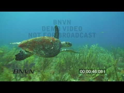 7/31/2010 Hawksbill Sea Turtle Footage.