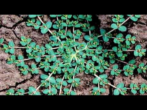 Roswell Lawn Care- Weed Pro: Spotted Spurge Weed