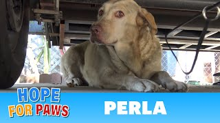 Yellow Labrador dumped after being used for breeding puppies.  Look how happy she is now!