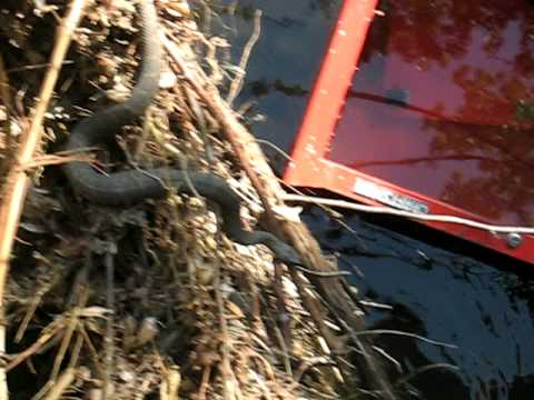 Moccasin snake videos moccasin snake video codes moccasin snake
