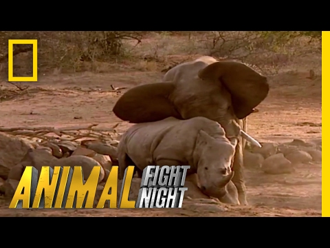Elephant vs. Rhino | Animal Fight Night