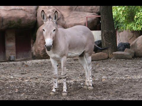 Somali Wild Ass (equus Africanus Somaliensis) video