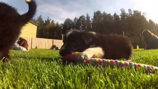 GoPro HD Hero 2 surrounded by border collie puppies + agility bonus