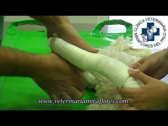 Cómo se coloca una férula en un perro. Cirugía Miraflores del Palo