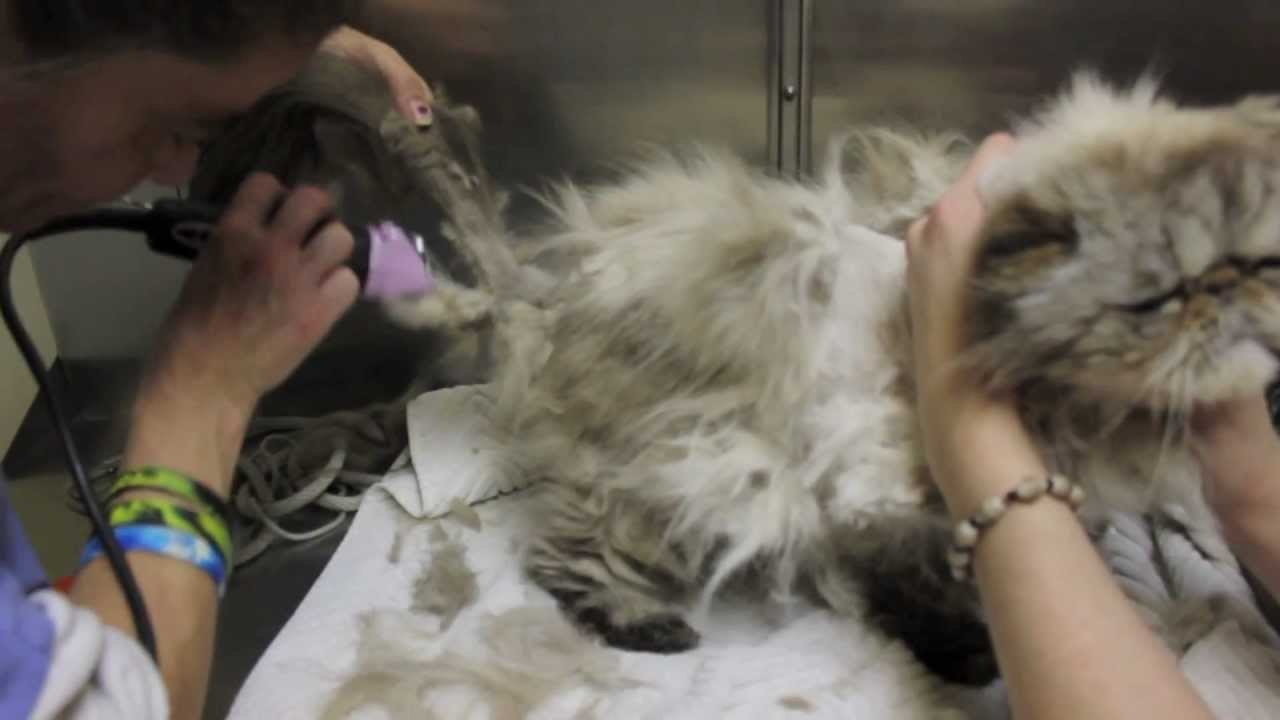 Why Do Long Haired Cats Get Matted