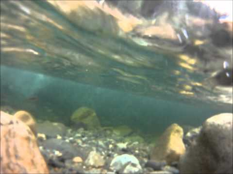 Underwater Cam Rainbow Trout North Yuba River