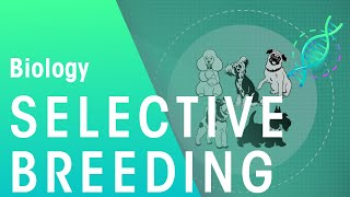 Selective Breeding | Biology for All | FuseSchool