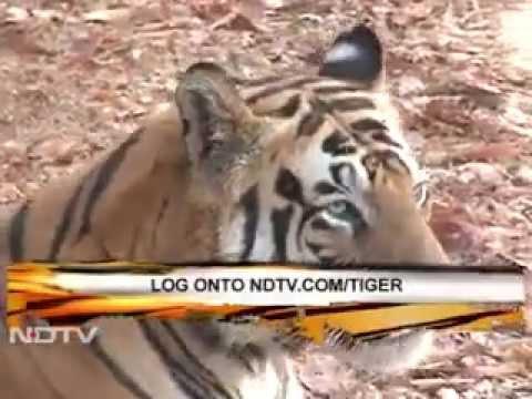 Tiger Tourism: A goldmine?