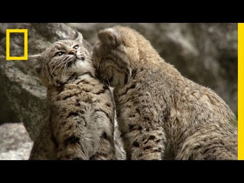 Filming Bobcats in Yosemite | America's National Parks