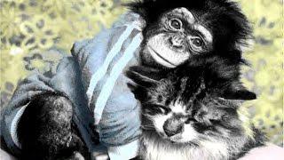 Коты и обезьяны) Monkeys Vs Cats