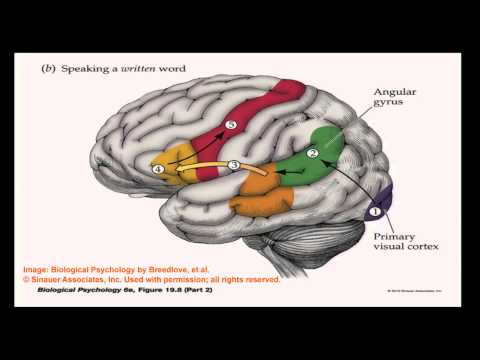 Brain and Behavior - Language of the Brain