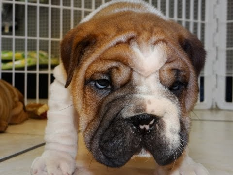 Bull Pei Puppies For Sale In Charlotte North