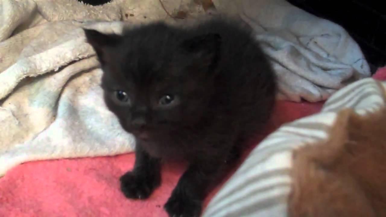 Newborn Black Kitten Close Up - YouTube