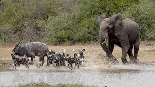 Amazing Elephant Chasing Wild Dogs To Save Kudu At Waterhole | Animals Hero