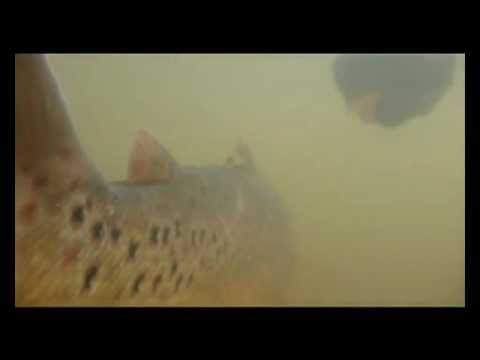 Salmo Trutta Trutta - Underwater    Unter Wasser Sex - 11 2012 video