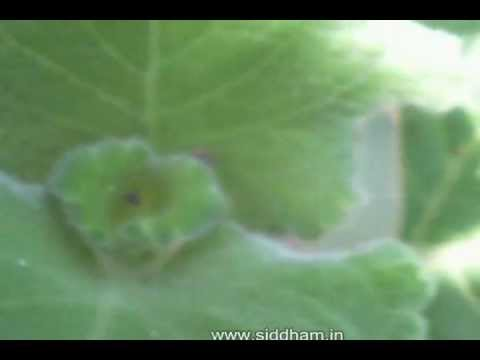 Herbal Medicine - Coleus vettiveroides - Natural cure for respiratory disorders