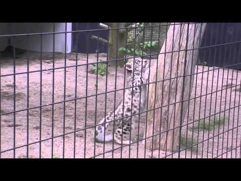 ユキヒョウの赤ちゃん木登りに挑戦~Snow Leopard's Baby goes up the tree