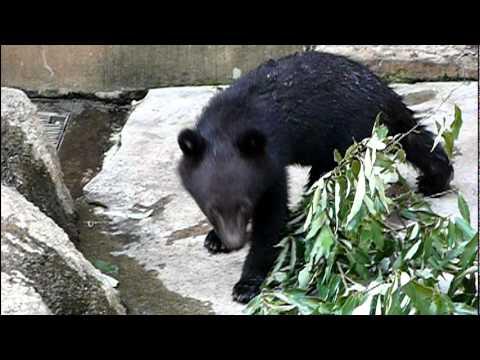 上野動物園のニホンツキノワグマの赤ちゃん。Baby Japanese black bear.#11