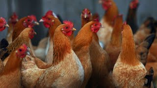China Using Army of Chickens to Battle Locust Swarms