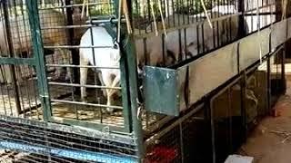 Low cost 20+ Sheep's and koli sakanike