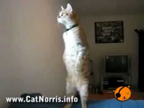 Funny cat watching Chuck Norris fight Video