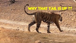 Tail Always UP: Ranthambore Tiger Sighting