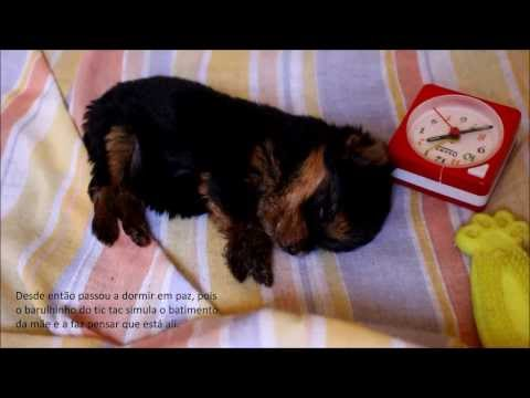 Cuidando de filhote de yorkshire órfão