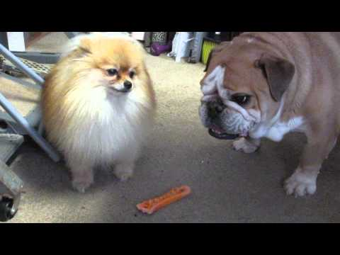 Dogs Fight Over Toy Bone video