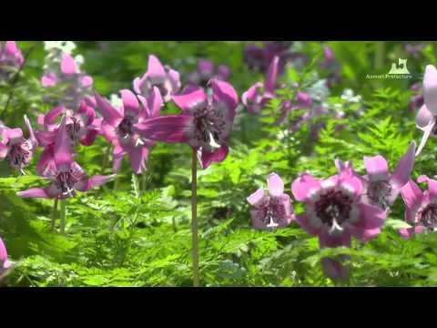 浅虫温泉・湯ノ島カタクリ - カタクリの花 - 0406A